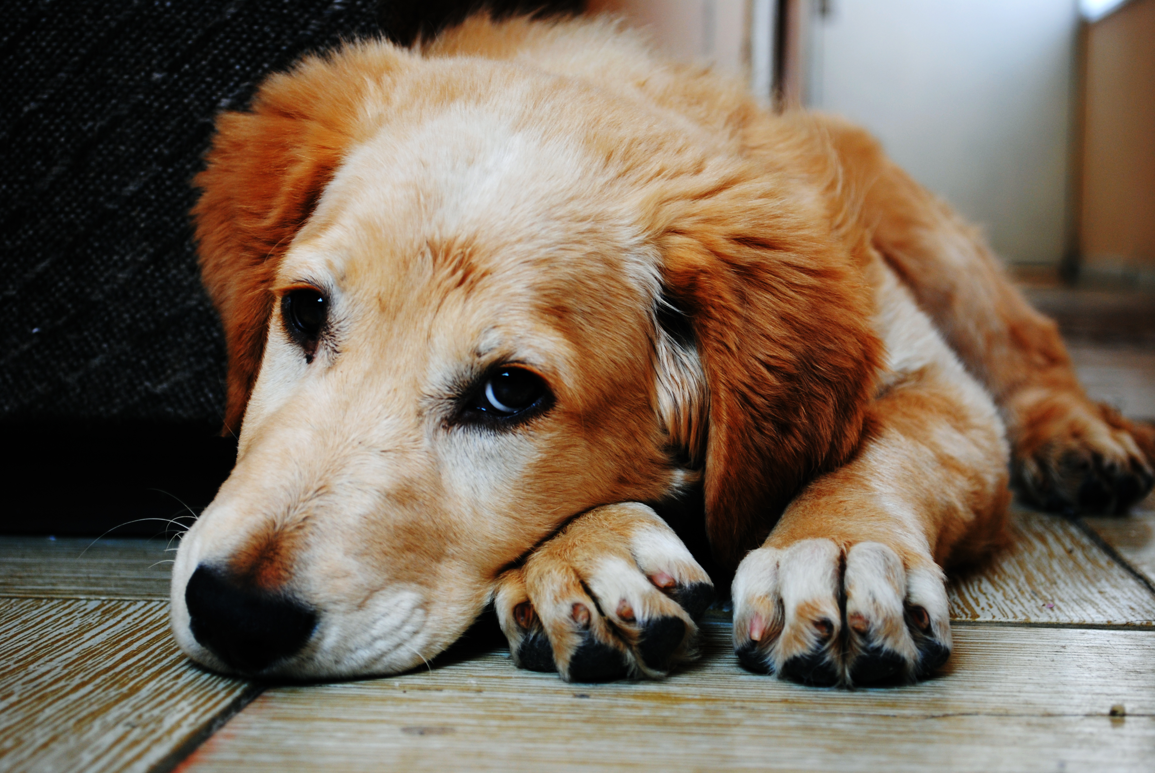 Dogs with Retinal Disease Help Researchers Find Effective Treatments